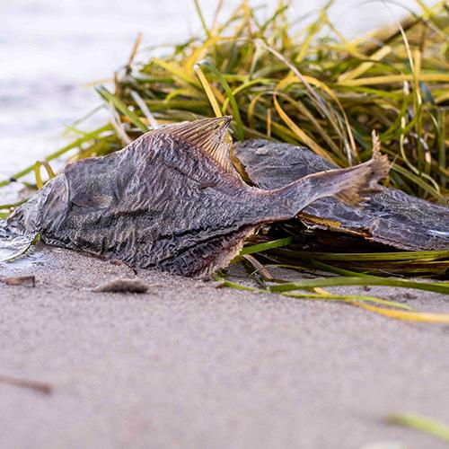 Küsten Hunde - Hundenahrung - Flunder getrocknet