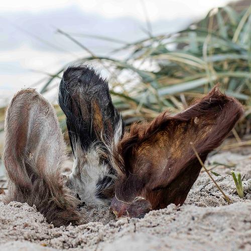 Küsten Hunde - Hundenahrung - Rinderohr mit Fell