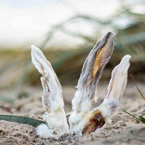 Küsten Hunde - Hundenahrung - Kaninchenohren mit Fell